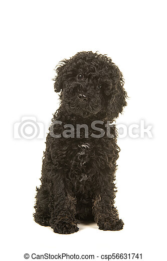 Sitting black labradoodle puppy facing the camera seen from the front on a  white background