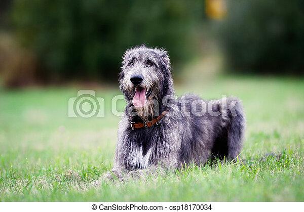 Sitting scottish wolfhound - csp18170034