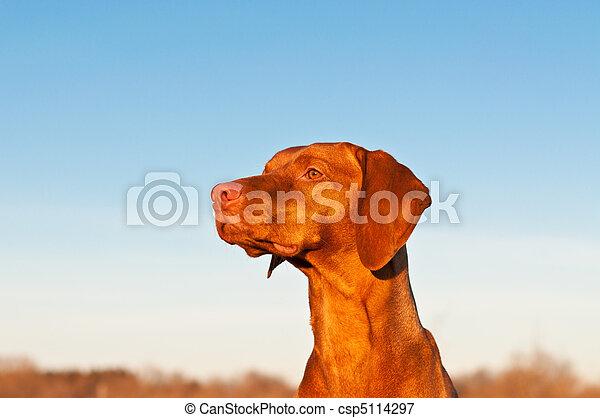 Sitting Vizsla Dog in the Spring - csp5114297