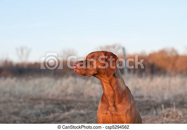 Sitting Vizsla Dog in the Spring - csp5294562