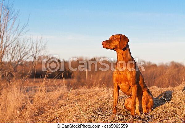 Sitting Vizsla Dog in the Spring - csp5063559