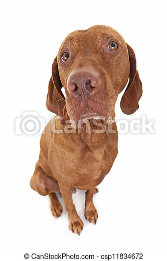 sitting vizsla dog - csp11834672