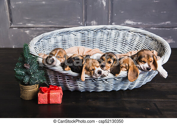 six beagle puppies sleeping in the basket six beagle puppies
