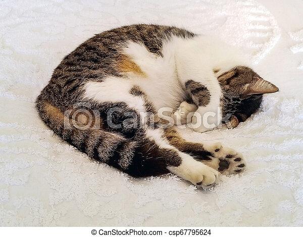 six-toed cat sleeping on bedspread - csp67795624