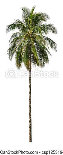 size., isolerat, vit, xxl, palm trä, kokosnöt, bakgrund. - csp12531940
