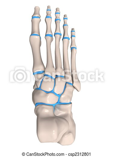 3d Rendered Illustration Of A Human Skeletal Foot Clipart Search