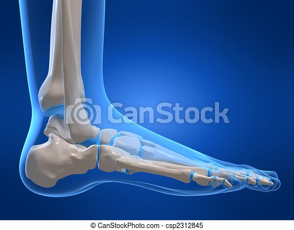 3d Rendered X Ray Illustration Of A Human Skeletal Foot Stock