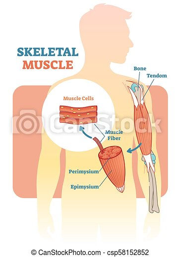 skeletal muscle vector illustration clipart vector_csp58152852 skeletal muscle vector illustration diagram, anatomical scheme with