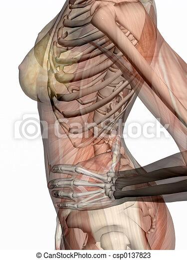 Skeleton., anatomía, músculos, transparnt. Derecho, esqueleto ...