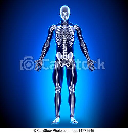 Skeleton - Anatomy Bones - csp14778545