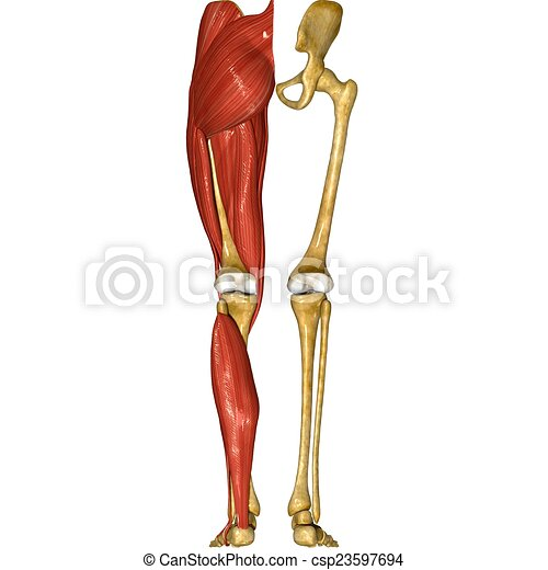 Skeleton And Muscles Of Legs The Skeletal System Includes Stock