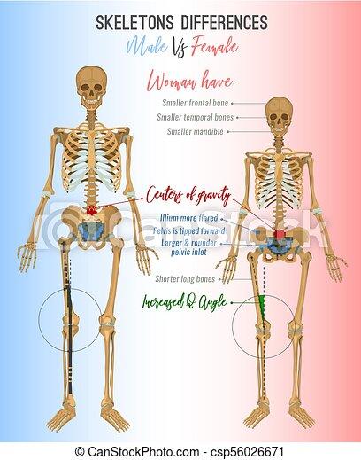 diagram of male skeleton skeleton differences image skeleton differences poster male in  skeleton differences poster male