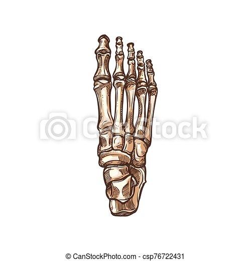 Skeleton Of Foot Tarsal And Metatarsal Bones Foot Bones Skeleton Isolated Sketch Vector Detailed Human Anatomy Metatarsal