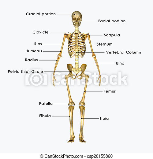 skeleton - csp20155860