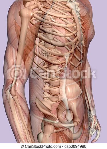 skeleton., transparant, homme, anatomie, musculaire - csp0094990