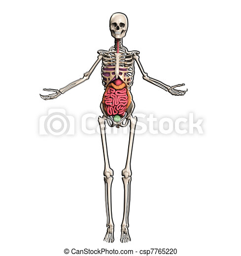 Skeleton with internal organs . Skeleton with internal organs ...