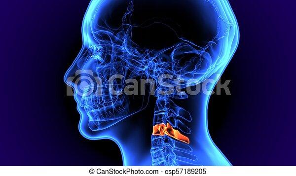 Skelett, abbildung, koerperbau, menschlicher knochen, 3d. Gelassen ...
