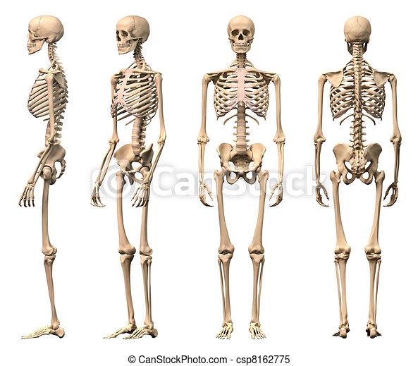 Männliches menschliches Skelett, vier Ansichten, vorne, hinten, Seite und Perspektive. Wissenschaftlich korrekte, photorealistische 3-D-Rendering. Ein Clippfad inklusive. - csp8162775