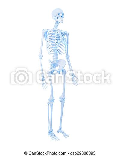 Skelett, menschliche . Medically, genau, menschliches skelett ...