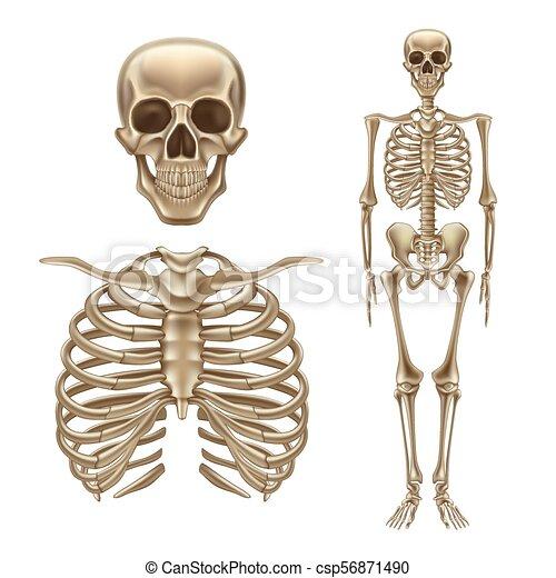 Skelett, totenschädel, rückgrat, vektor, menschliche , knochen, 3d ...