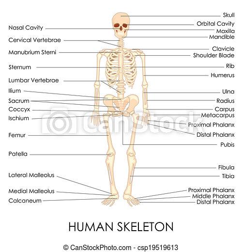 skelton, mänsklig - csp19519613