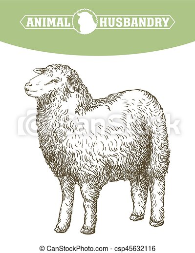 sketch of sheep drawn by hand animal husbandry vector