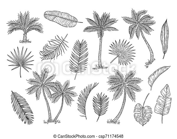 Sketch Palm Tree Tropical Rain Forest Trees And Exotic Palm Leaves Vintage Hand Drawing Vector Isolated Set Foliage Leaf Summer seamless pattern with tropical leaves and vector. can stock photo