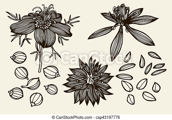 Line Drawing Of Flowers Clipart : Sketch set of nigella sativa flowers and leaves isolated on