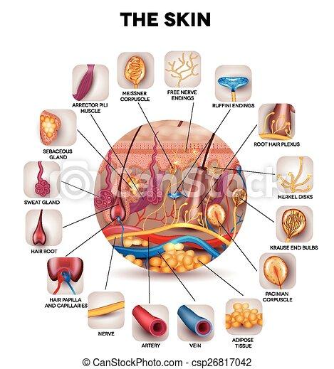Skin anatomy - csp26817042