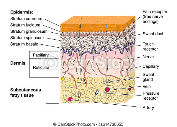 skin cross section labeled rh canstockphoto com