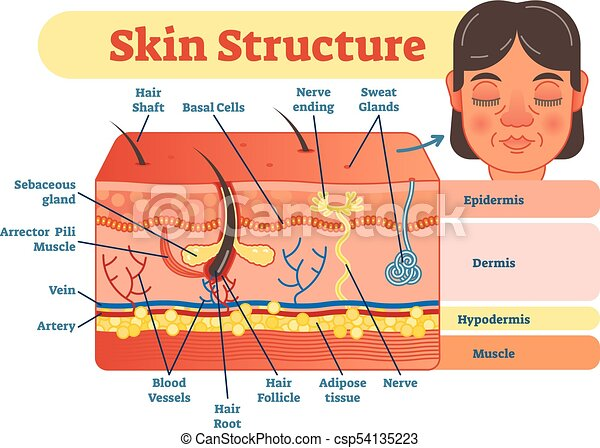 Skin structure vector illustration diagram with skin layers and main  elements. educational medical dermatology information. | CanStock