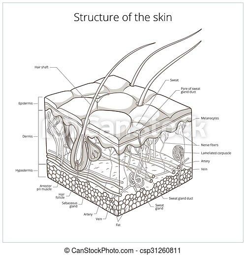 skin structure vector illustration slice of skin structure medical science educational vector. Black Bedroom Furniture Sets. Home Design Ideas