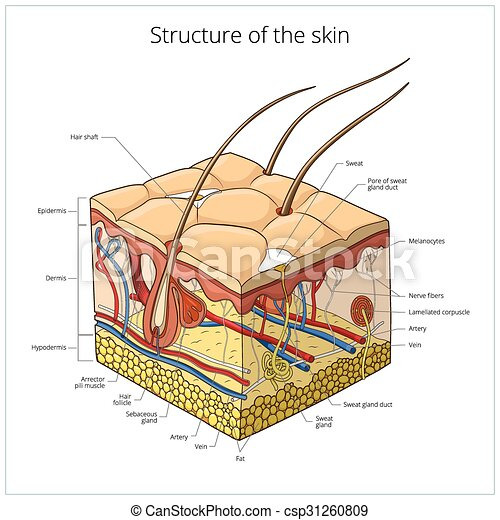 Skin structure vector illustration - csp31260809