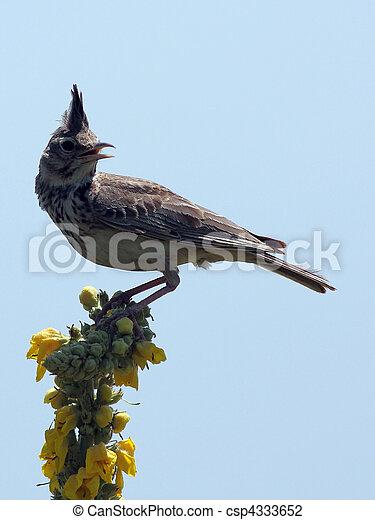 skowronek, ptak - csp4333652