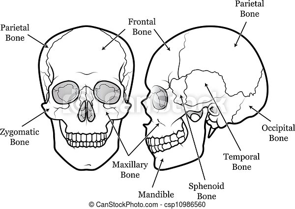 Skull chart diagram of the human skull with labels clip art vector skull chart csp10986560 ccuart Gallery