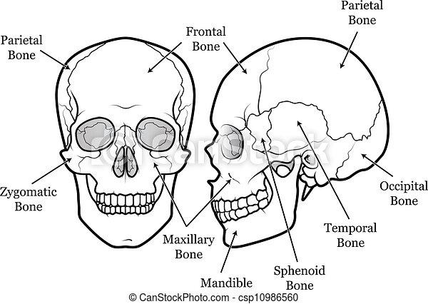 Nasal Bone Clipart Vector Graphics 79 Nasal Bone Eps Clip Art