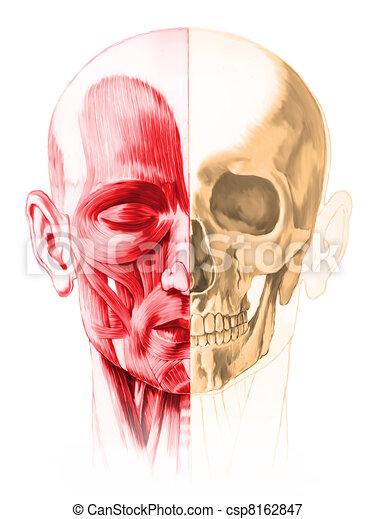 skull., coupure, muscles, image, peint, frontal, moitié mâle, main, anatomie, arrière-plan., humain, included., sentier, blanc, tête, style., vue - csp8162847