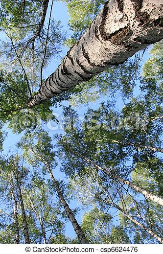 Sky in a birch grove - csp6624476