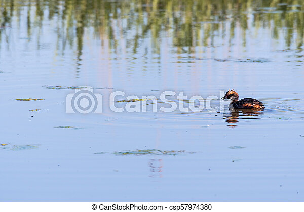 Slavonian Grebe with a just caught small fish - csp57974380