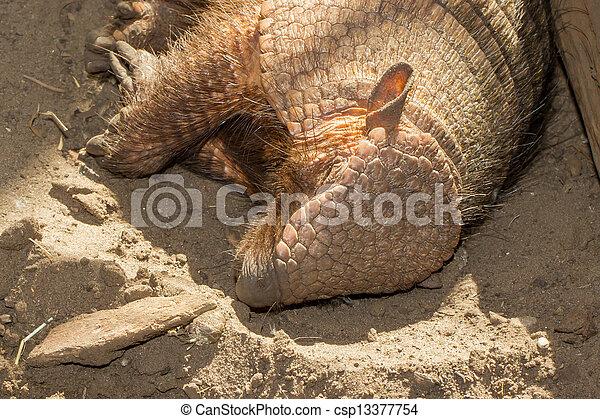 Sleeping armadillo (Chaetophractus villosus) - csp13377754