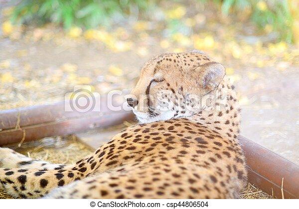 sleeping cheetah laying on the ground closeup