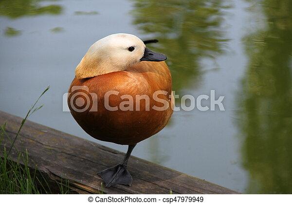 Sleeping duck on one leg - csp47979949