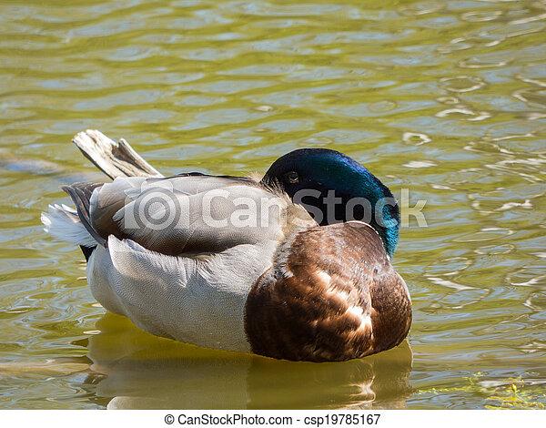 Sleeping duck on pond - csp19785167