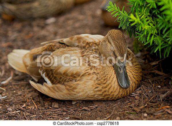 Sleeping Duck - csp2778618