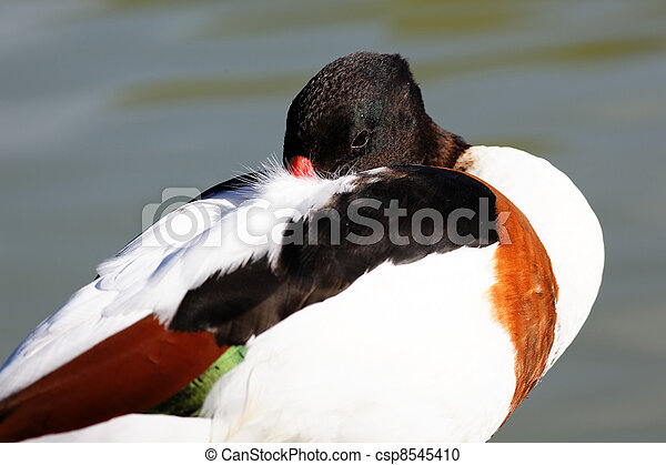 sleeping duck - csp8545410