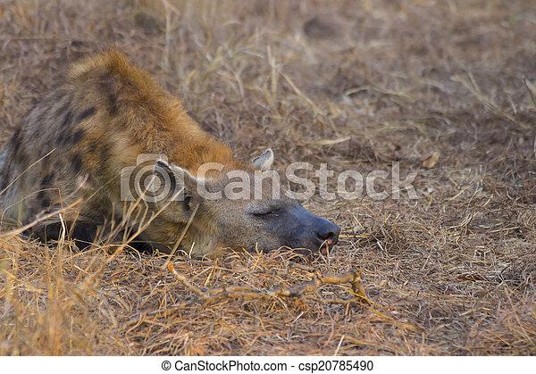 Sleeping hyena adult in the wild 2 - csp20785490