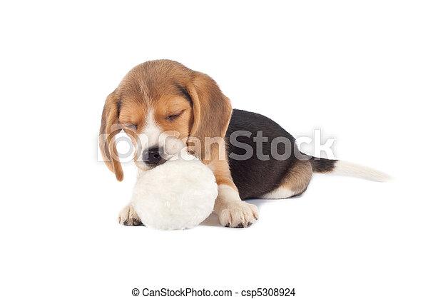 sleeping small beagle - csp5308924