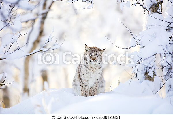 Sleepy cute lynx cub in the cold winter forest - csp36120231