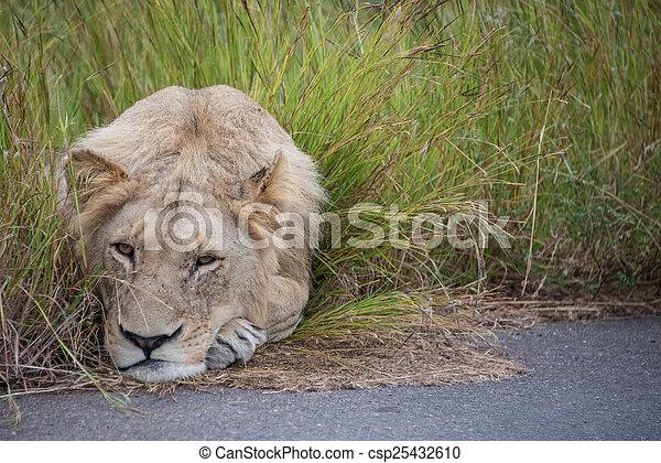 Sleepy Lion - csp25432610