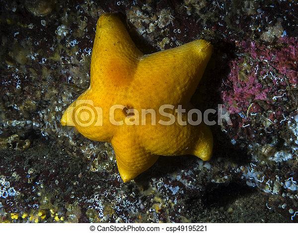Slime Star (Pteraster tesselatus) - csp49195221